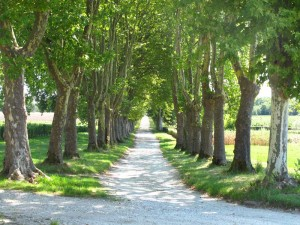 Tree lined lane at Chateau Guirard