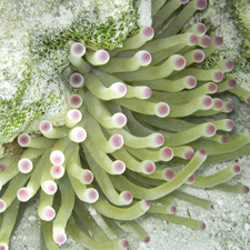 Belize underwater, pink tipped anemone, Half Moon Caye