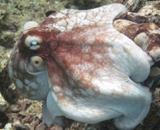 Octopi embracing in Bonaire, underwater