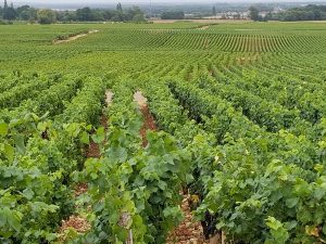Vineyards of Gevrey Chambertin, Cote de Nuit, Burgundy gold coast
