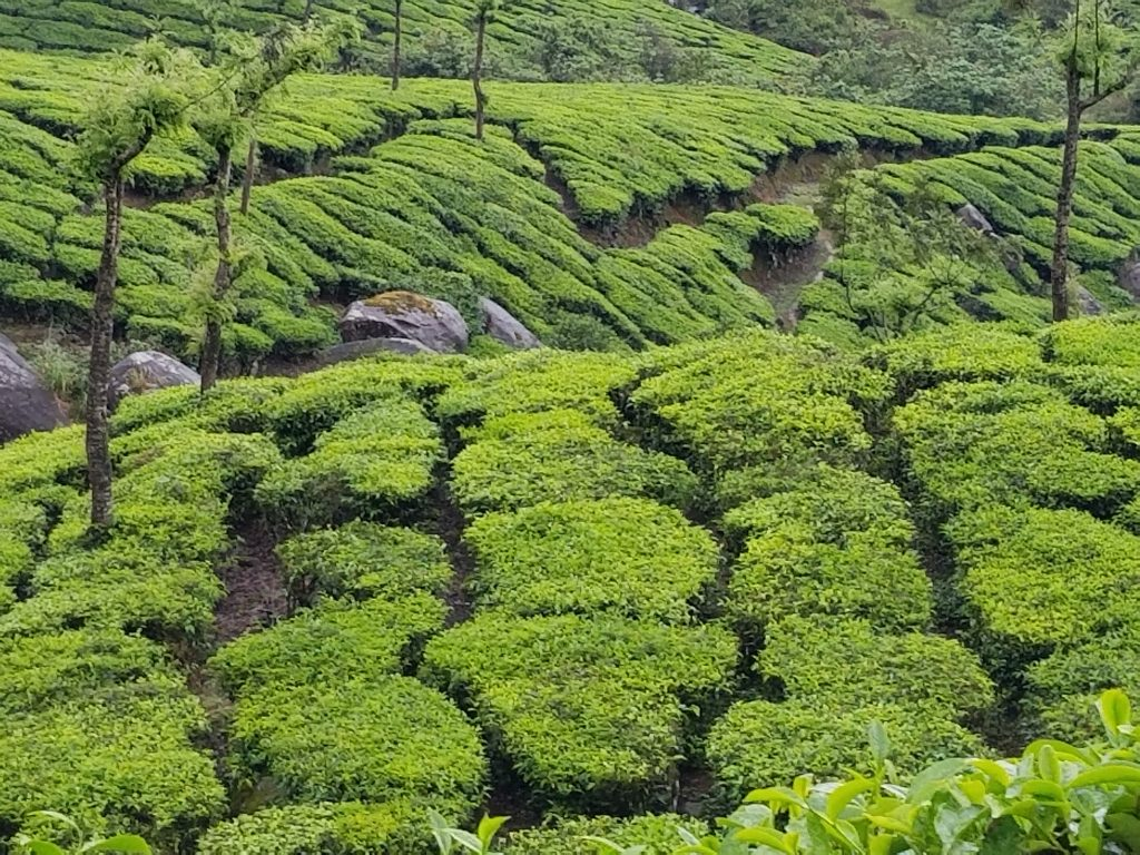 green slopes of tea in Munnar, Kerala, India
